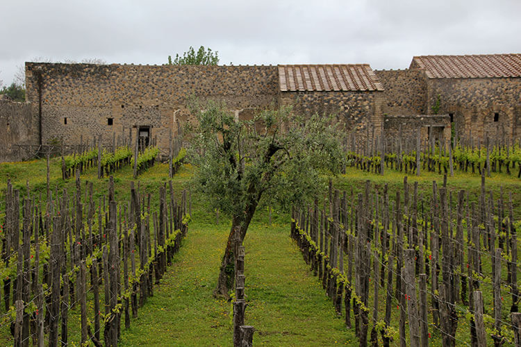 Vineyard planted inside of Pompeii