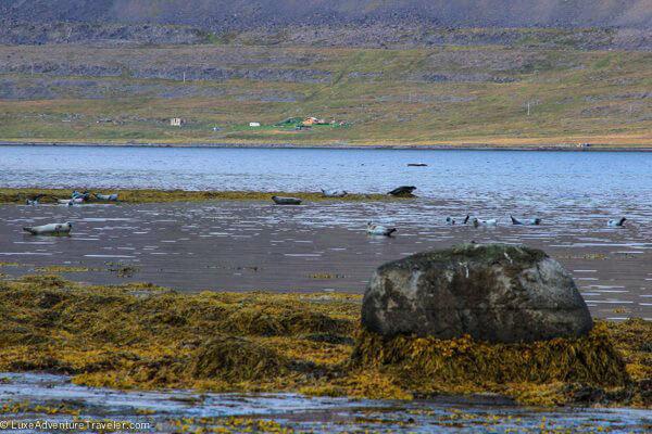 Seals in Iceland Westfjords