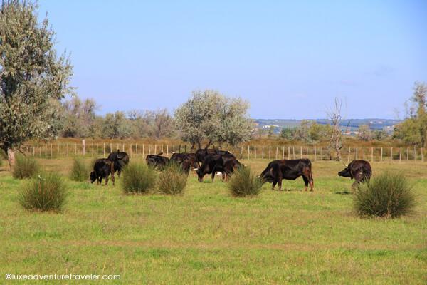 Camargue black bulls