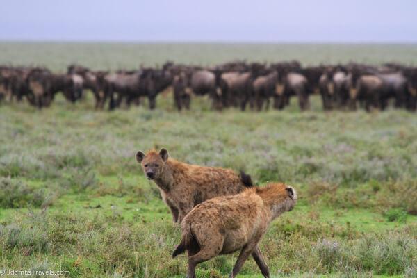 Hyenas in Sergenti National Park