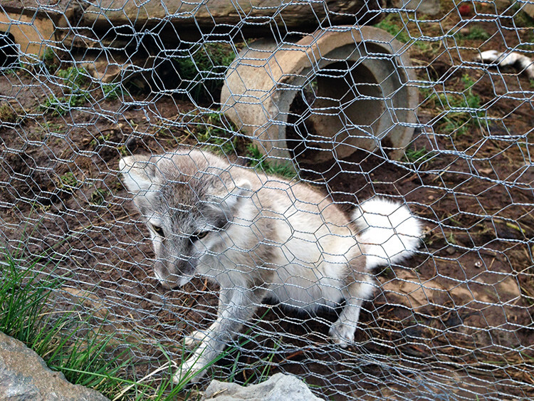Arctic Fox Center, Iceland