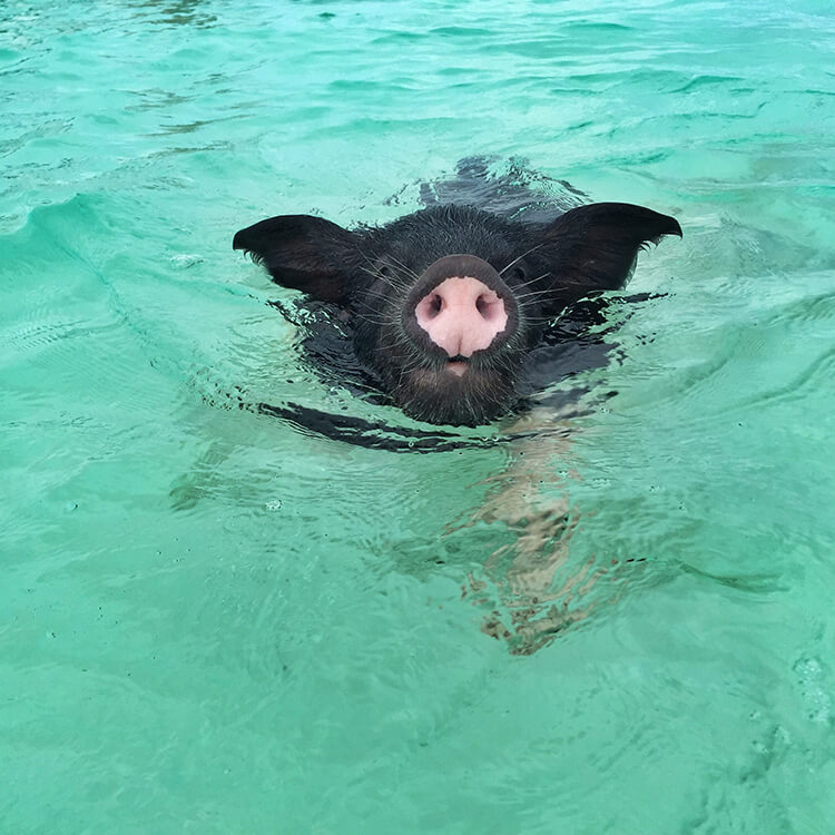 Swimming With The Pigs In Bahamas