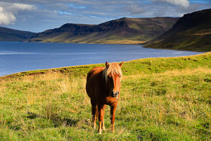 Icelandic Horse in the Westfjords