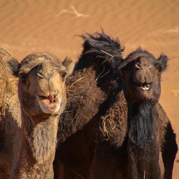 Camels at ATTA Desert Camp, Sahara Desert