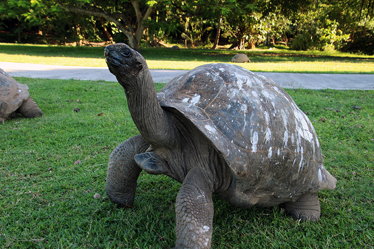 Giant Aldabra Tortoise, Fregate Island Private, Seychelles