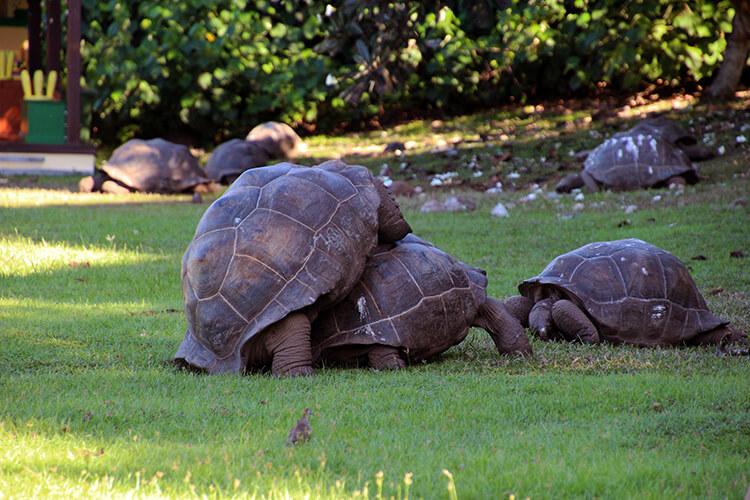 Mating Giant Aldabra Tortoises