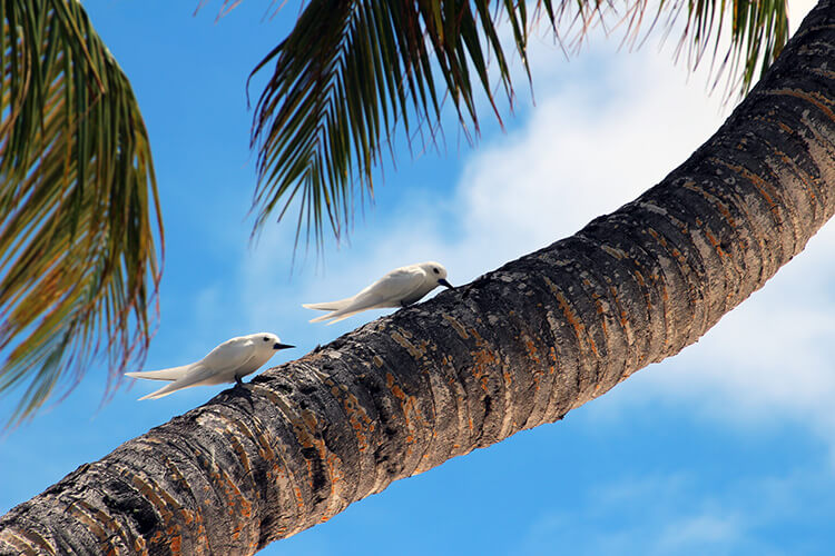 Pair of Seychelles Fairy Terns