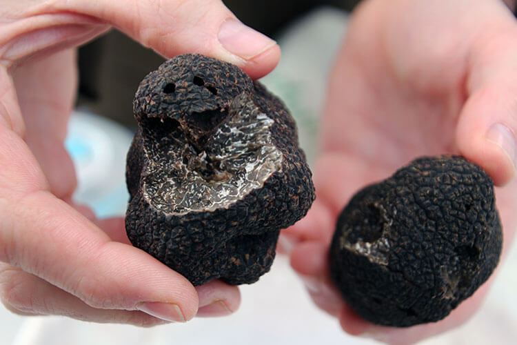 A truffle farmer holds a black Perigord truffle he's selling in his hand