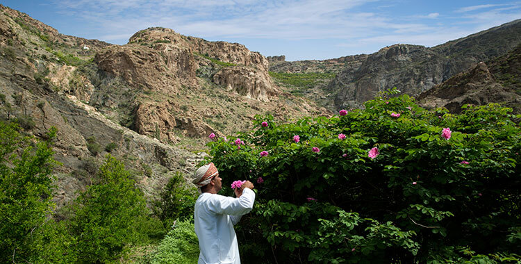 An Omani man collects roses in Jebel Akhdar