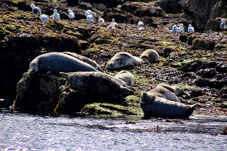 A colony of gray seals sunbathe on the rocky edge of Puffin Island