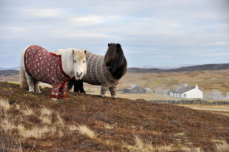 A white and a black Shetland pony are dressed in Fair Isle sweaters