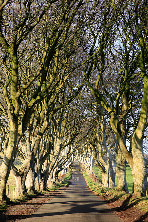 The hilly road stretching through the beech trees of The Dark Hedges on a sunny day