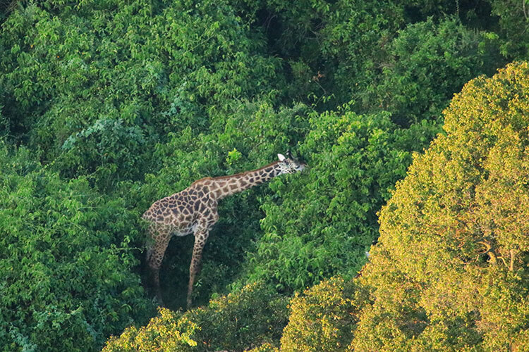 Two giraffes eat deep in the forest as seen from the hot air balloon in Masai Mara