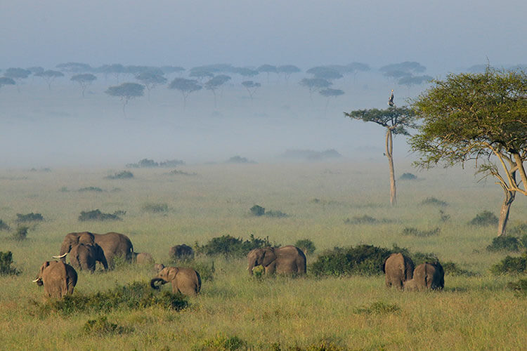 A herd of elephants gathers around their young and a pair of crown cranes sit perched atop an acacia tree as seen from the hot air balloon in Masai Mara