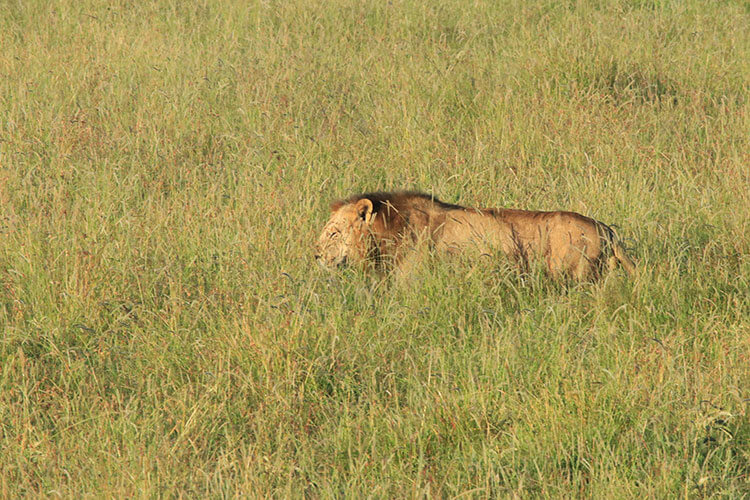A male lion walks in the tall grass as senn from the hot air balloon in Masai Mara