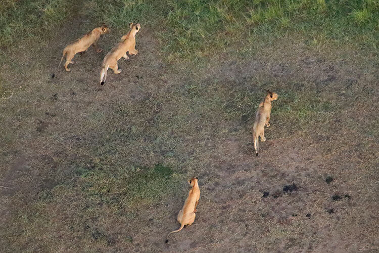 Four lionesses on the move as seen from above in a hot air balloon in Masai Mara, Kenya