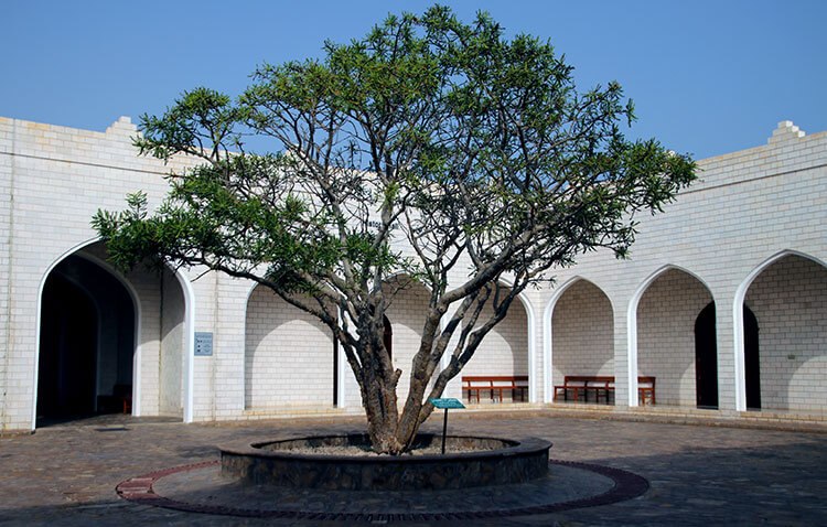 The frankincense tree in the courtyard of the Land of Frankincense Museum in Al Baleed