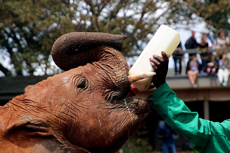 A baby elephant drinks milk from a one liter bottle during the presentation at the David Sheldrick Wildlife Trust Elephant Orphanage