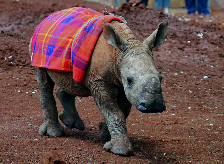 Maarifa, the 4 month old baby white rhino makes her entrance at the David Sheldrick Wildlife Trust