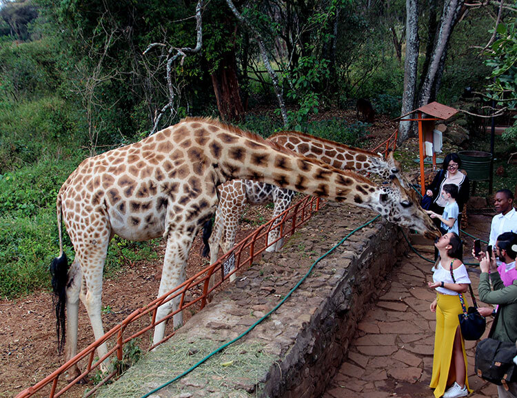 Two giraffes bend down to take food from visitors at the Giraffe Centre
