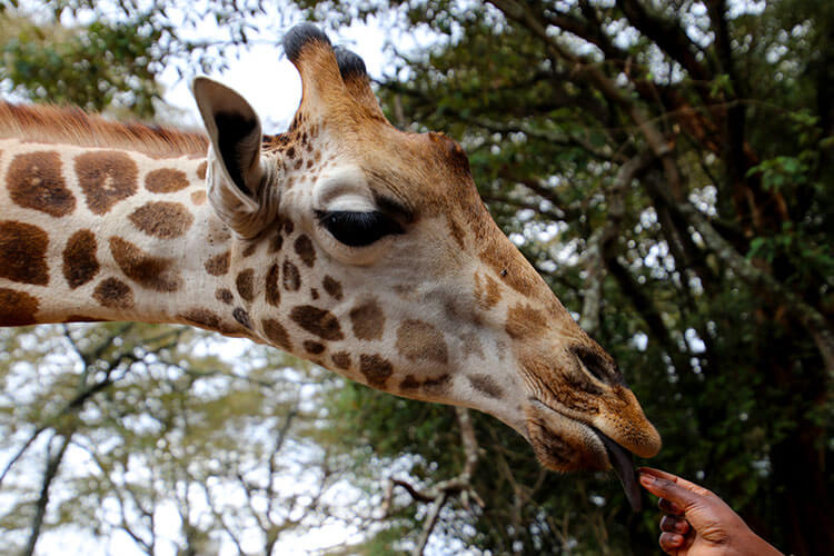 A giraffe gently takes a pellet to eat at the Giraffe Centre