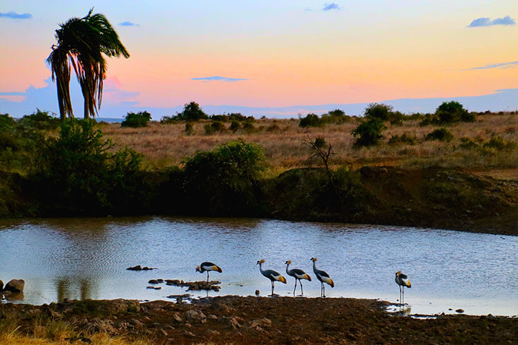 Five crowned cranes stand at the edge of a watering hole at sunset in Nairobi National Park