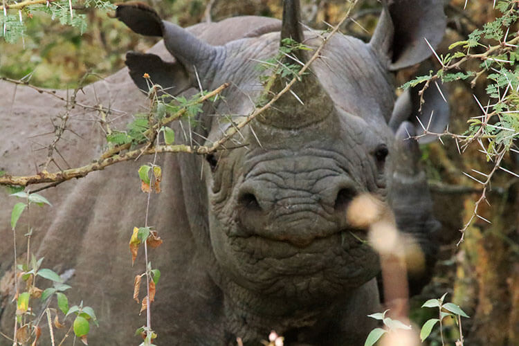 Two black rhinos in the bushes in Nairobi National Park