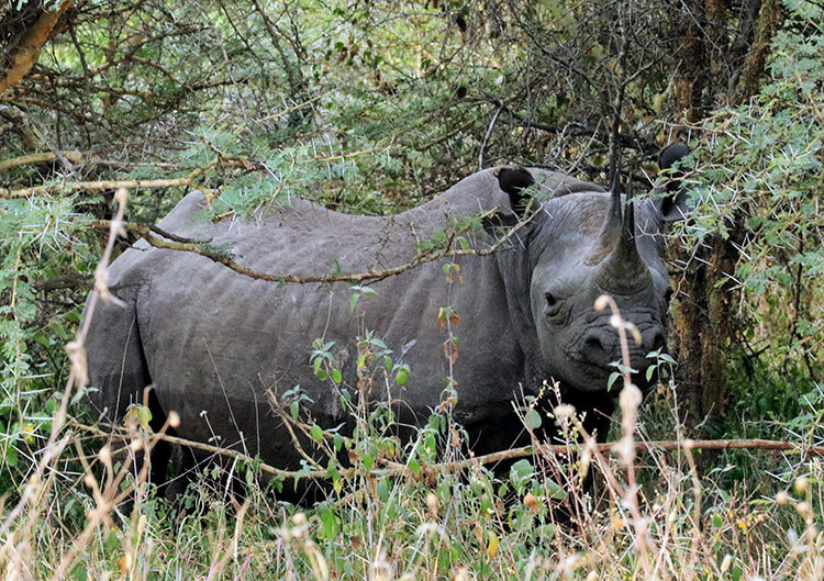 Three black rhinos eat shrubs in the forest in Nairobi National Park