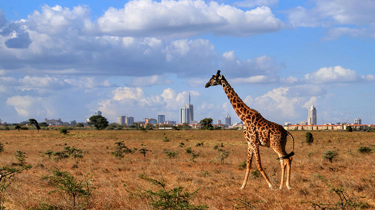 A giraffe walks on the plains of Nairobi National Park with Nairobi's skyscrapers as a backdrop