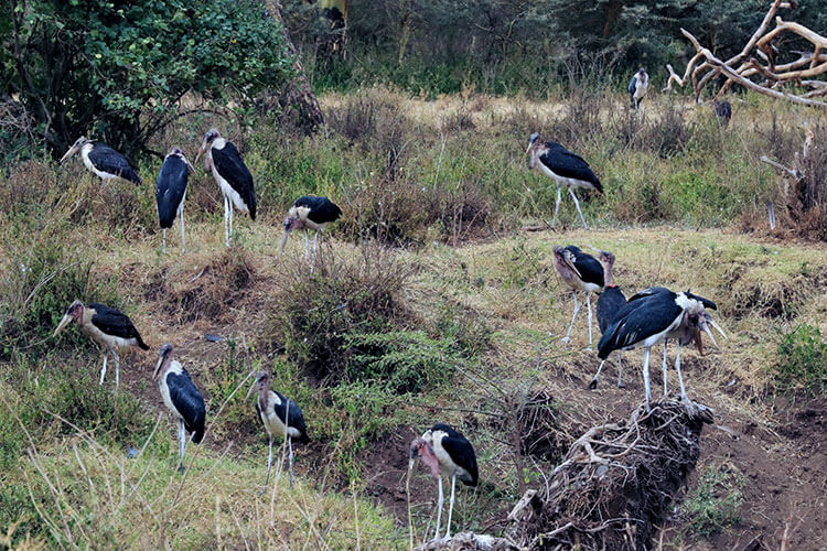 A dozen giant marabou storks sit on branches along the river in Nairobi National Park