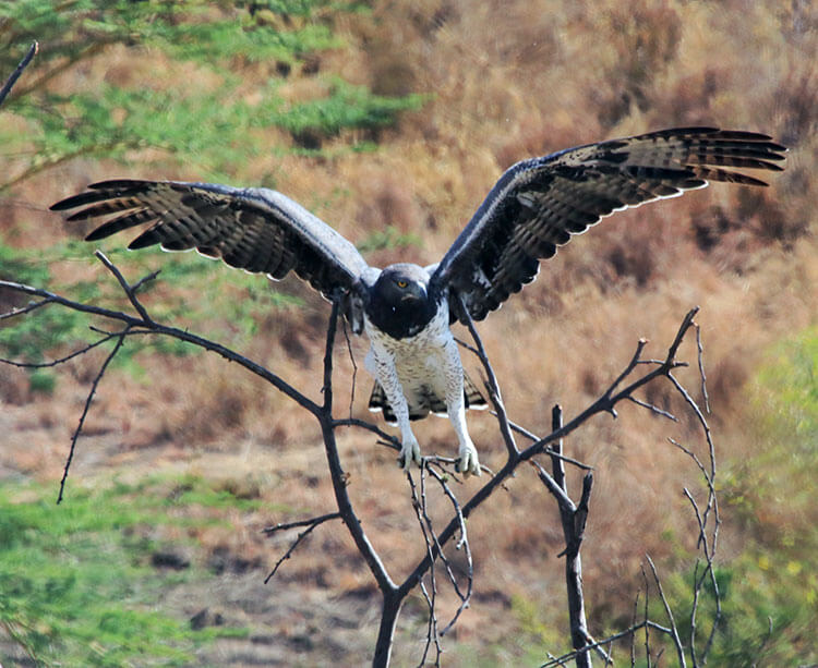 A martial eagle has its wings spread in flight as it lands on a branch in Nairobi National Park