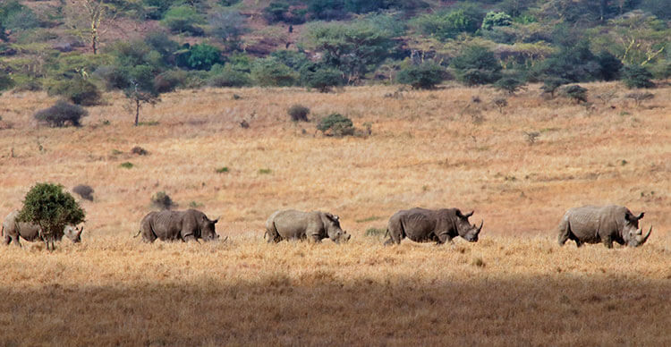 Five white rhinos walk in a line in Nairobi National Park