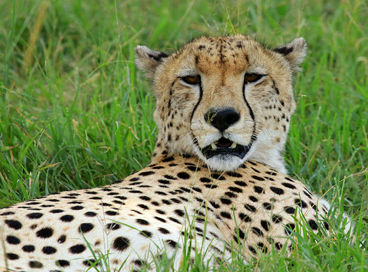 A cheetah keeps watch around him as he tries to rest in the grass under a tree in the Masai Mara