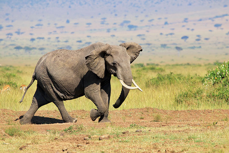 A lone male elephant quickly on the move in the Masai Mara