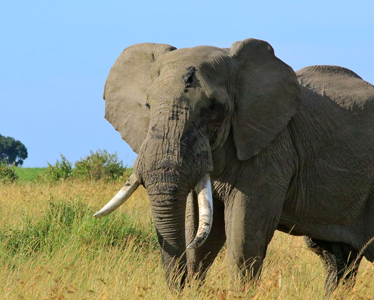 A large male elephant with a thick musth secretion in the Masai Mara