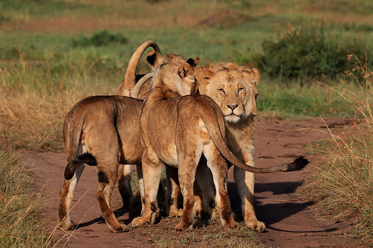 More nuzzles and licks as the pride is reunited with their lost pride member in the Masai Mara