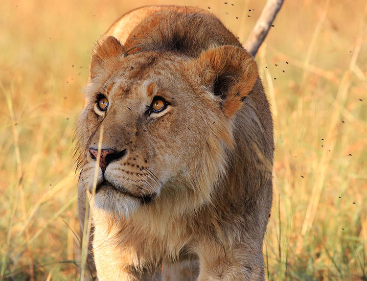 A young male lion looks up at us as he walks near our vehicle in the Masai Mara