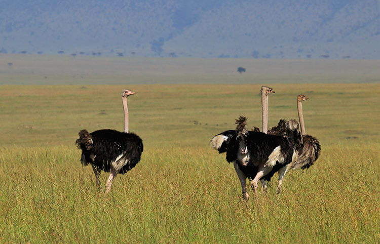 Two male and a brown female ostrich in the Masai Mara