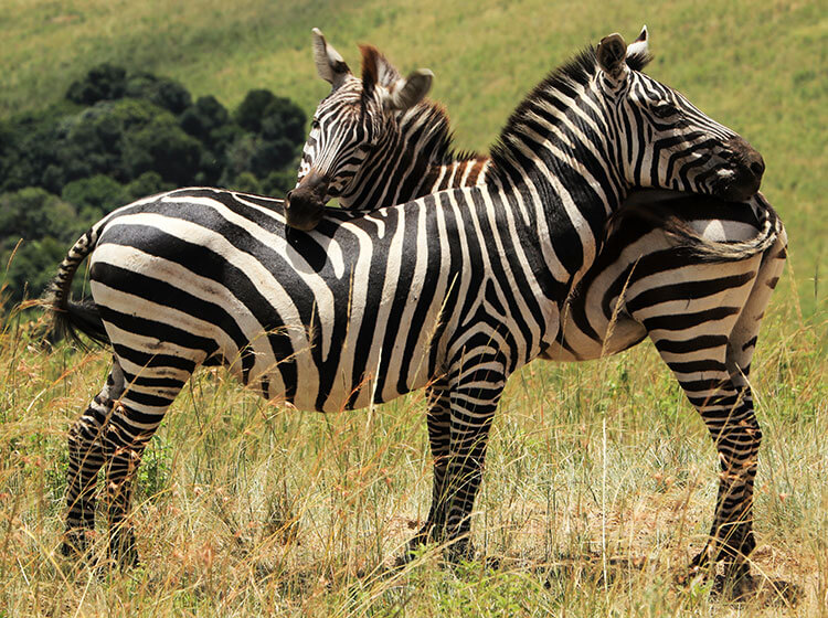 Two zebras scratch their heads on each other in the Masai Mara