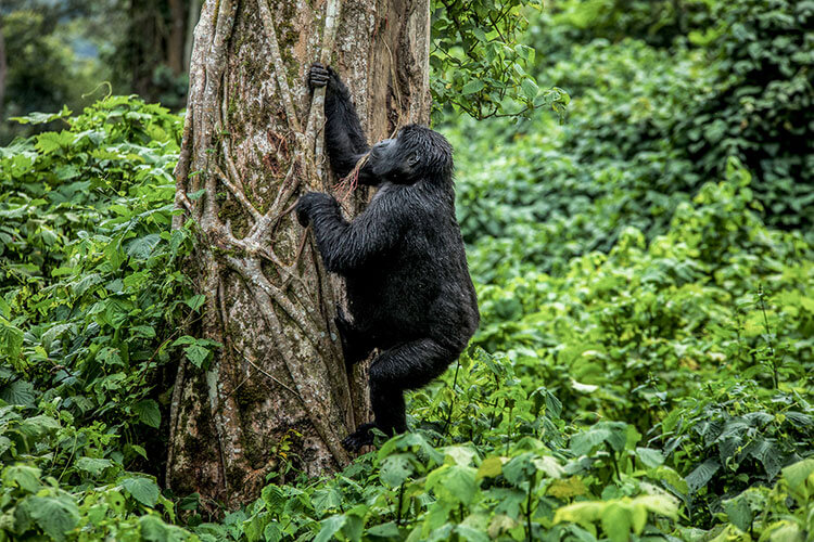 A young mountain gorilla pulls on a branch from a tree in the jungle in Rwanda
