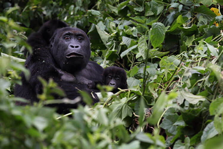 An adult eastern lowland gorilla holds a baby in the Congo