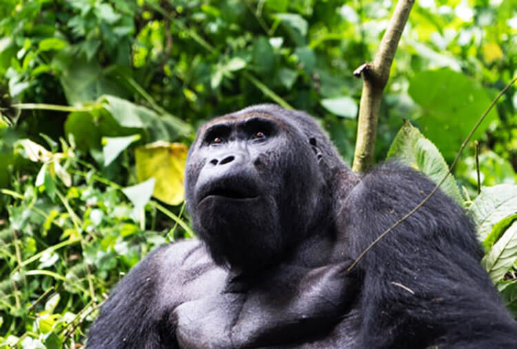 An adult eastern lowland gorilla in the Congo