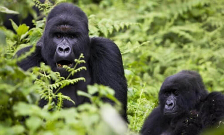 An adult and a young eastern lowland gorilla in the jungle of the Congo