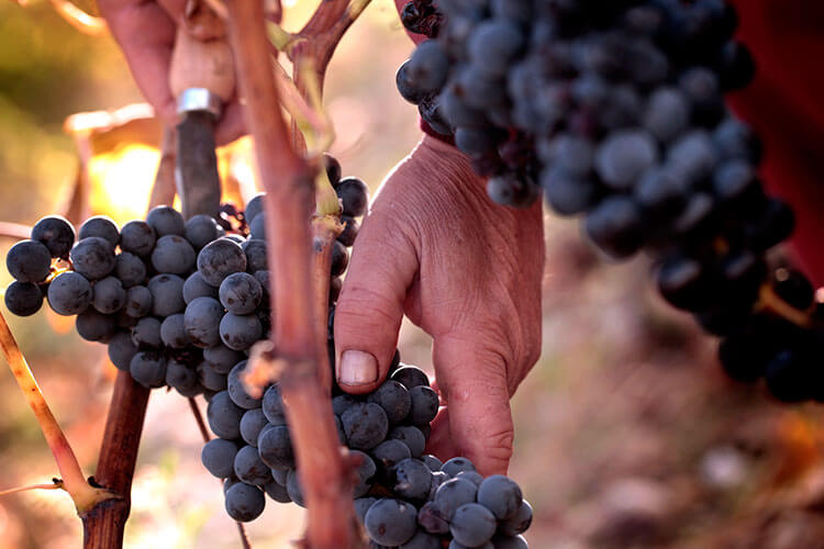 A man cuts a bunch of grapes from the vines during harvest at Vivanco in La Rioja, Spain