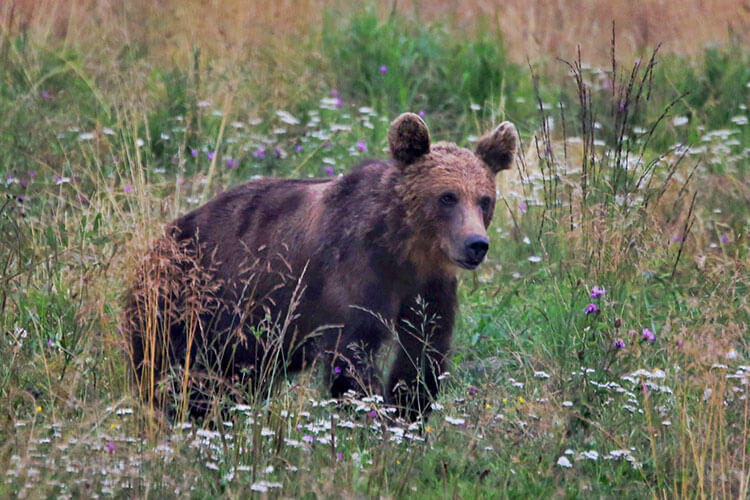 A brown bear walks through a field of wild flowers in Romania