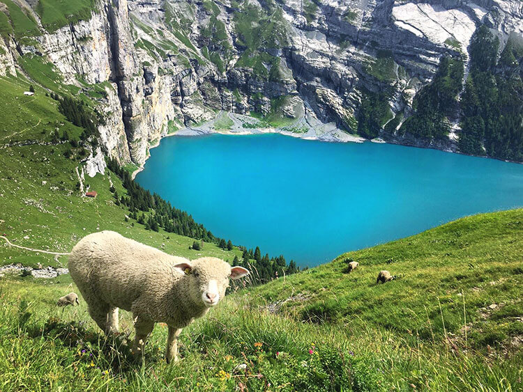 A curious sheep checks out Tim on the mountainside above Oeschinen Lake in Switzerland