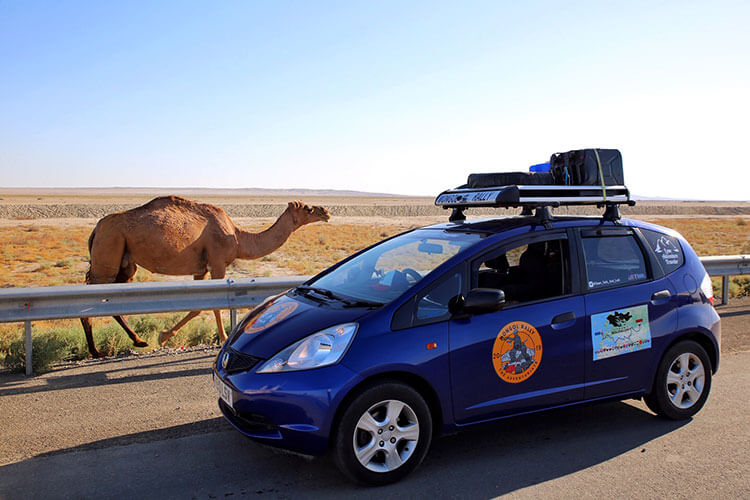 A camel on the side of the road in Turkmenistan pictured with Tim's Honda Jazz rally car