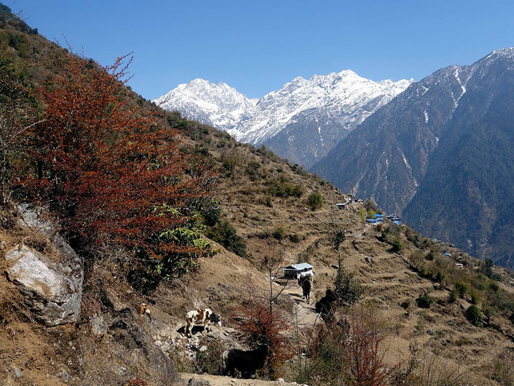 A lone trekker makes his way on the trail past some cows with the Himalayas visible on a clear day in the Langtang Valley