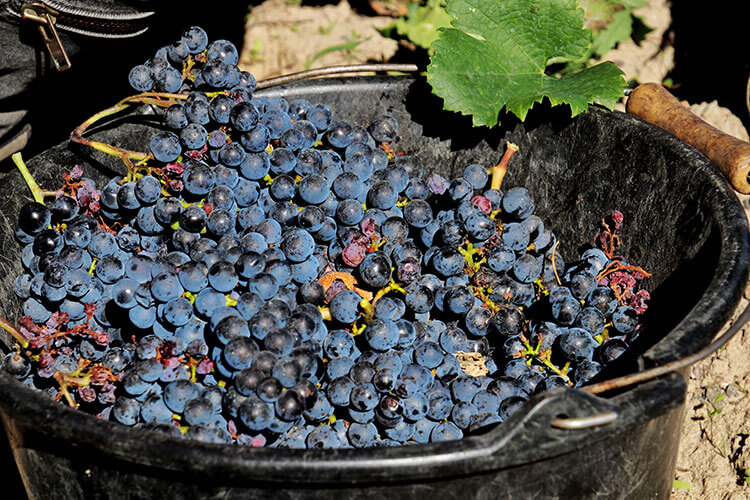 A bushel of Merlot grapes is nearly full during the Bordeaux harvest