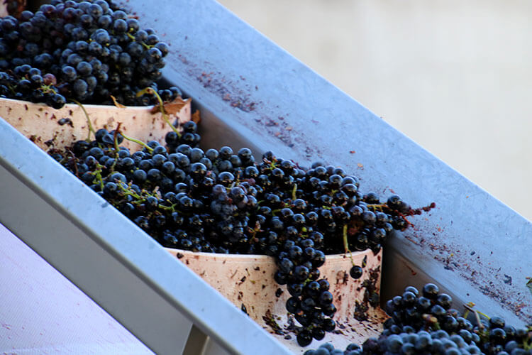 The grapes travel on a conveyor belt into the destemmer during the Bordeaux wine harvest